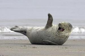 laughing-seal
